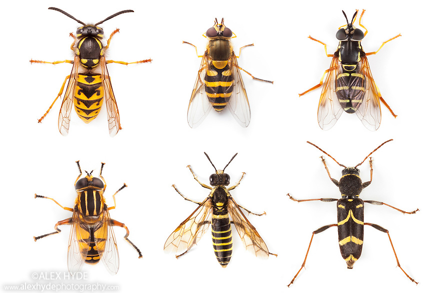 A German Wasp {Vespula germanica} compared to five Batesian mimics. None of the five wasp mimics can sting, but by appearing similar to a wasp, are avoided by many potential predators. All five mimics are European species that live alongside the German Wasp. Clockwise from top left: 1- German Wasp {Vespula germanica}, 2 - Hoverfly {Syrphus ribesii}, 3 - Hoverfly {Chrysotoxum festivum}, 4 - Wasp Beetle {Clytus arietis}, 5 - Sawfly {Tenthredo sp.}, 6 - Hoverfly {Helophilus pendulus}. All photographed in the field on a white background.