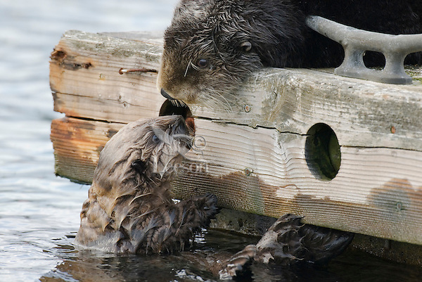 Sea Otter (Enhydra lutris) mom (on dock) with pup who is too small to get up on dock.
