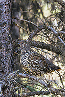 Spruce grouse camouflaged in boreal forest, Denali National Park, Alaska