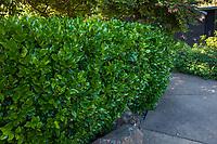 Ligustrum japonicum, Japanese privet or wax leaf privet hedge, Marin Art and Garden Center