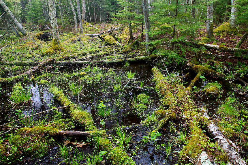 Wet forest in low area between natural ridges, Door County, Shivering Sands Preserve, The Nature Conservancy, Wisconson