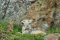 Wild Coyotes (Canis latrans)--mother with young pups.  Pups are pestering her after a long hunt.  She has fed them and is now looking for a few minutes of rest. Western U.S., June.