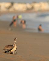 un pelicano en la playa bahia Kino en Sonora, Mexico.(Photo: Luis Gutierrez / NortePhoto.com).<br /> un pelicano en la playa bahia Kino en Sonora, Mexico.(Photo: Luis Gutierrez / NortePhoto.com).