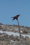 Golden Eagle, Aquila Chrysaetos, Nevada, winter, State Highway 225,