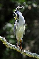 Adult yellow-crowned night-heron preening