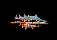 a pair of dragon shrimp, Miropandalus hardingi, Anilao, Philippines, Pacific Ocean