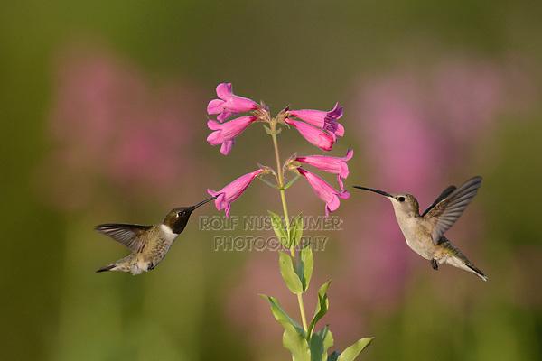 Black-chinned Hummingbird (Archilochus alexandri), adult feeding on blooming Hill country Penstemon, Bandera, Hill Country, Texas, USA
