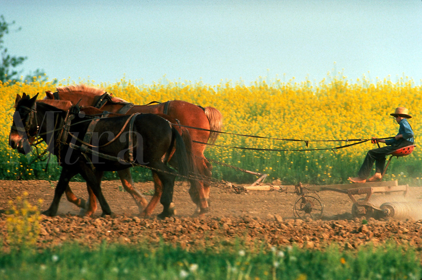 An Amish boy aged 12 drives a team of mules to till a field in the spring. A field of mustard seed is in the background. Amish boy. Lancaster Pennsylvania United States Farm.