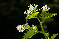 Aurorafalter, Männchen, Aurora-Falter, Anthocharis cardamines, orange-tip, male, L'Aurore, Piéride du cresson, Weißlinge, Pieridae, an Knoblauchsrauke, Knoblauchrauke, Alliaria petiolata