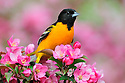 00865-028.01 Baltimore Oriole is perched in blooming red-splendor crab apple tree.  Landscape, food, blossoms, orange.