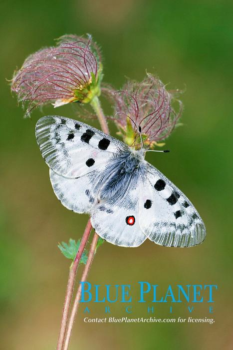 Apollo Butterfly (Parnassius apollo), adult male, resting on Yellow Alpine Pasqueflower (Pulsatilla alpina), seedheads, Italian Alps, Italy, Europe
