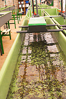 "A fish farm nursery dam pond tank for breeding sturgeon with very small fish fry spawn. Baby sturgeons  ""Caviar et Prestige"" Saint Sulpice et Cameyrac  Entre-deux-Mers  Bordeaux Gironde Aquitaine France - at Caviar et Prestige"