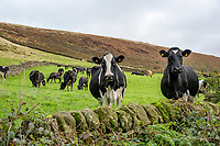 Dairy cows looking over a stone wall, Macclesfield, Cheshire.