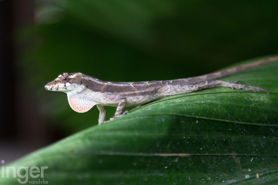 Anole Lizard showing dewlap at The Lodge at Pico Bonito, Honduras