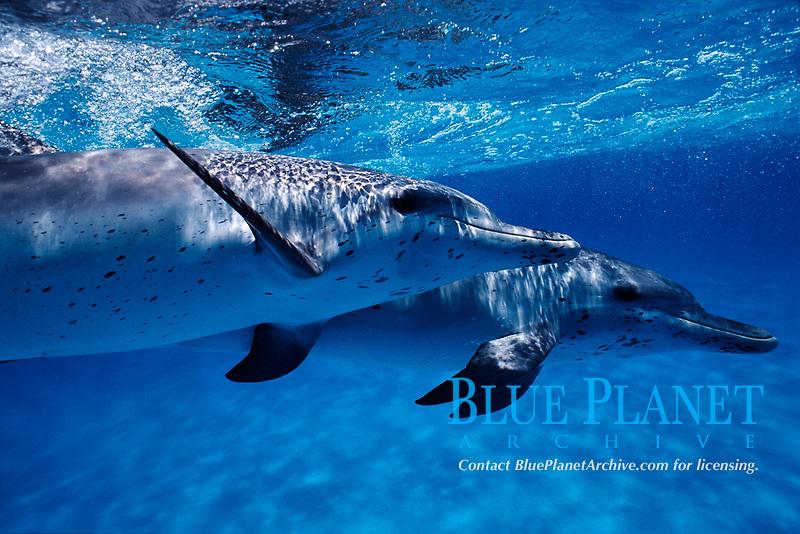 Atlantic Spotted dolphin, Stenella frontalis, Caribbean, Bahamas, Little Bahama Bank, Wild Atlantic Spotted Dolphin, Bahamas, Mammal