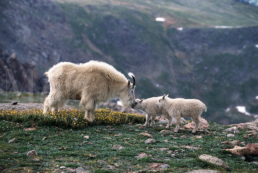 A mountain goat ewe and kids nuzzle.