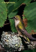 HU10-056x  Ruby-throated Hummingbird - female at nest -  Archilochus colubris