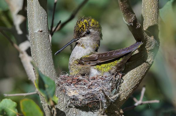 Anna' Hummingbird nest (Calypte anna).  Arizona.  Feb-March.