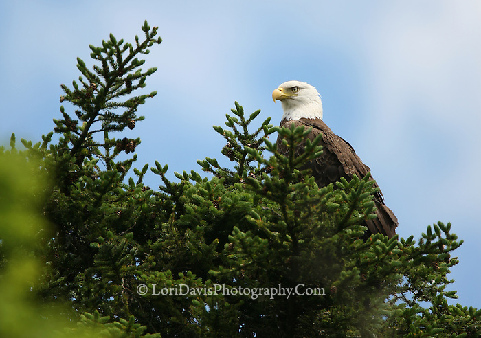 Bald Eagle in Tree Top  #BE8