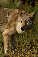 Coyote warily watching his surroundings in Yosemite, Calif.