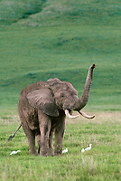 628507024v a wild african elephant loxodonta africana stands on the open veldt accompanied by cattle egrets in ngorogoro crater national park tanzania in east africa