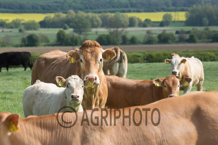 Beef suckler cows with calves at foot grazing in the Welland Valley<br /> Picture Tim Scrivener 07850 303986<br /> ….covering agriculture in the UK….