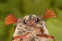 Gemeiner Maikäfer, Feld-Maikäfer, Feldmaikäfer, Melolontha melolontha, Männchen frisst an Eiche, Portrait mit Fächerfühler, maybeetle, common cockchafer, maybug