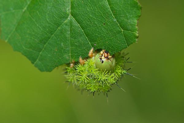 Io Moth (Automeris io), caterpillar eating, Hill Country, Central Texas, USA