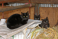 Black farm cat and kittens...Copyright John Eveson 01995 61280.j.r.eveson@btinternet.com