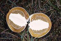 Gemeine Stinkmorchel, aufgeschnittener Jungpilz, Hexenei, Stink-Morchel, Gichtmorchel, Leichenfinger, Phallus impudicus, common stinkhorn, common stink-horn