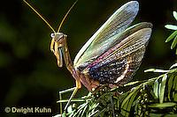 1M26-003x  Praying Mantis adult displaying - Tenodera aridifolia sinensis