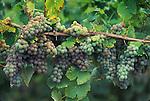 Gewürtztraminer grapes on vine; Foris Vineyards, Cave Junction, southern Oregon.