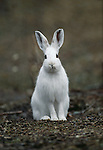 Snowshoe hare, Montana
