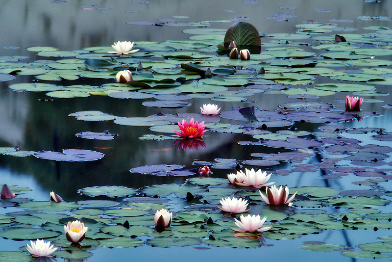 Water lily pads in bloom. Near Florence, Oregon.