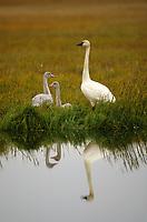 Tundra Swan (Cygnus columbianus) and chicks. Colville River Delta, Alaska. August.