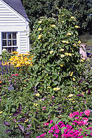 Climbing Vine Thunbergia alata ?Sunny Yellow Star? in border with Lilium, Impatiens, Salvia farinacea, Verbena, and house