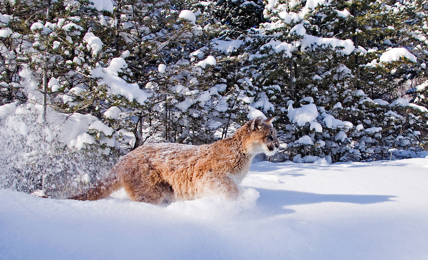 Young mountain lion (Felis concolor) rushes out of snowy forest
