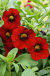 RED CALIBRACHOA BRED BY FIDES