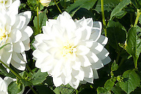 Dahlia 'White Ballet'