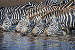 Herd of common zebra (Equus quagga) (local subspecies, Grant's zebra (Equus quagga boehmi)) drinking in seasonal water hole after heavy rain. Ngorongoro Conservation Area (NCA) / Serengeti National Park, Tanzania.