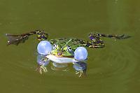 Teichfrosch, Teich-Frosch, Grünfrosch, Schallblase, Schallblasen, Wasserfrosch, Frosch, Frösche, Pelophylax esculentus, Rana kl. esculenta, European edible frog, common water frog, green frog, La Grenouille verte, la Grenouille comestible