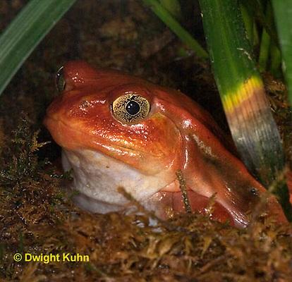 FR24-500z   Tomato Frog, Dyscophus antongili