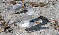 0103-1002  Royal Tern Preparing for Flight, Thalasseus maximus maximus (syn. Sterna maxima)  © David Kuhn/Dwight Kuhn Photography