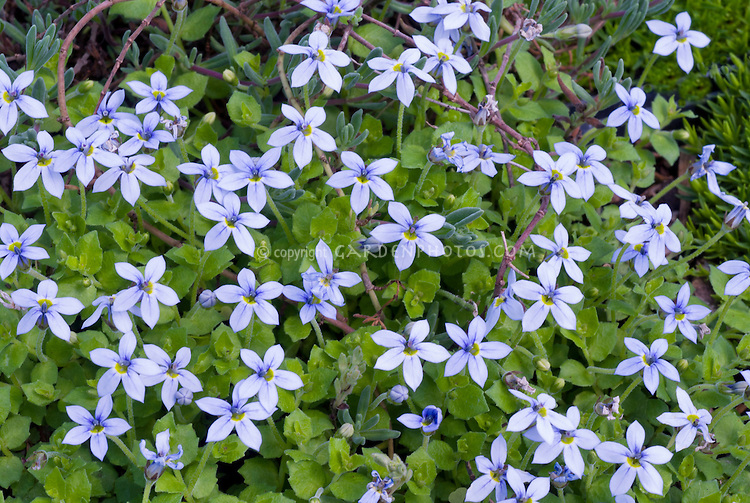 Blue flowers of Blue Star Creeper Isotoma fluviatalis, blue flowered low-growing groundcover plant. aka Laurentia fluviatilis