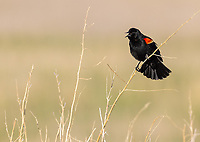 Once again, I had nice chances to photograph territorial male Red-winged Blackbirds at Camas National Wildlife Refuge.