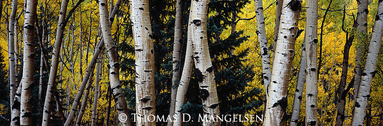 Wet aspen trunks after an autumn rainstorm in White River National Forest in Colorado.