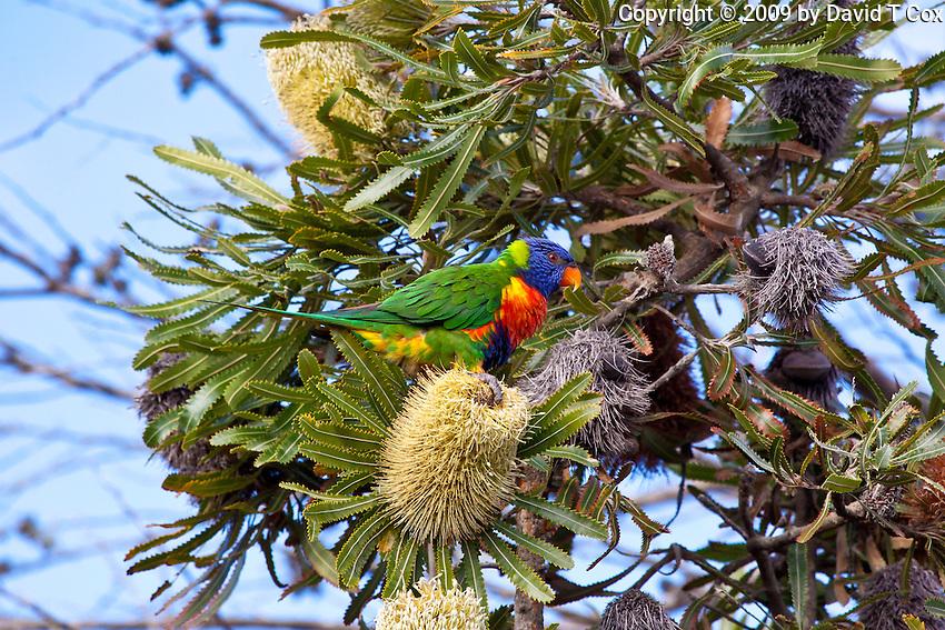 Rainbow Lorikeet, Yuragir NP, Australia