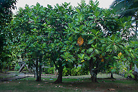 Breadfruit trees at Kamokila Hawaiian Village, Wailua River Valley, Kauai.