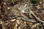Black-tailed Deer (Odocoileus hemionus) fawn carcass, killed by Mountain Lion (Puma concolor), Santa Cruz Puma Project, Santa Cruz Mountains, California
