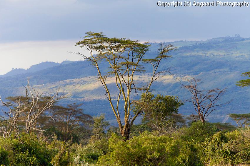 Fever trees and hillside, Soysambu Conservancy, Great Rift Valley, Kenya
